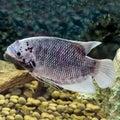Beautiful tilapia fish in water tank Stock Photo