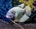 Beautiful tilapia fish in water tank Stock Image