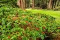 Beautiful tiny red flowers of Cornus kousa chinensis on Redwood Avenue alley in Benmore Botanic Garden, Scotland