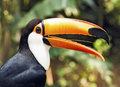 Beautiful toucan bird profile semi opened beak Royalty Free Stock Images