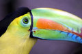 Beautiful toucan side view checking you out Stock Images