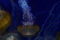 Beautiful translucent Blue & Yellow Jellyfish Royalty Free Stock Photo