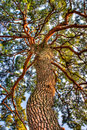 Beautiful tree pine under up side Royalty Free Stock Images
