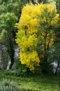 Beautiful tree on the river with bright yellow autumn foliage Royalty Free Stock Photo