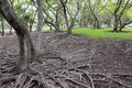 Beautiful tree root roots spreading on the ground Stock Images