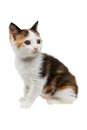 Beautiful tricolor kitten little isolated on white Stock Photography