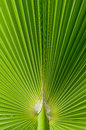 Beautiful tropical palm leaf for background Royalty Free Stock Photography