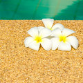 Beautiful tropical plumeria flowers on swimming pool with reflec reflection water closeup Royalty Free Stock Image