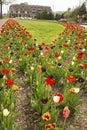 Beautiful Tulip Beds Are In Fu...