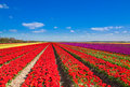 Beautiful tulip field rows with sky horizon Royalty Free Stock Photo