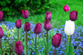 Beautiful tulip flower and green leafs background Royalty Free Stock Photo