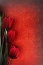 Beautiful tulip flowers Stock Image