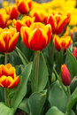 Beautiful tulip in the garden with green leaf Royalty Free Stock Images