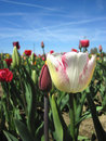 Beautiful tulips field in spring time landscape Stock Image