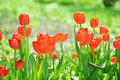 Beautiful tulips field in spring time. Royalty Free Stock Photo