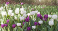 Beautiful tulips field in spring time with sun rays Royalty Free Stock Photo