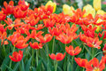 Beautiful tulips on green bokeh background, close up tulips flowers Stock Photos