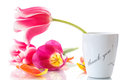 Beautiful tulips in a vase with gratitude on white background Royalty Free Stock Photo