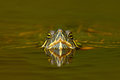 Beautiful turtle in the river. Red-eared slider, Trachemys scriptta. Tortoise in nature river habitat. Tortoise detail face portra Royalty Free Stock Photo