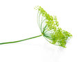 Beautiful twig of green umbrella mature dill is isolated on blac