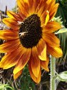 Beautiful Macro Photography Giant Sunflower With Bees Royalty Free Stock Photo