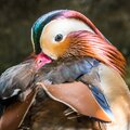 Beautiful up close and personal duck colors Royalty Free Stock Photo