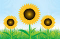 Beautiful vector sunflower background Stock Image