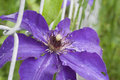 Beautiful Vibrant Clematis Vine With Water Droplets Royalty Free Stock Photo