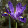 Beautiful vibrant iris flower scent sational in full bloom in Sp