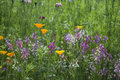 Beautiful vibrant landscape image of wildflower meadow in Summer Royalty Free Stock Photo