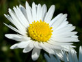 Beautiful vibrant white Daisy flower Royalty Free Stock Images