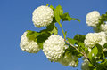 Beautiful viburnum guelder rose snowball tree viburnum opulus blossoms on sky background Stock Photos
