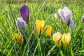 Close up of crocus flowers in yellow and violet colors