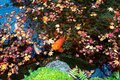 A beautiful view of Japanese Carp fish & colorful maple leaves in a lovely Koi pond in a garden in Kyoto Japan Royalty Free Stock Photo