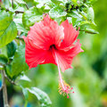 Beautiful view of red hibiscus flower the Royalty Free Stock Images