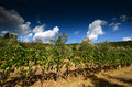 Beautiful Vineyards in Tuscany with Blue Cloudy Sky. Summer season. Royalty Free Stock Photo