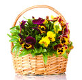 Beautiful violet pansies in basket Stock Photography