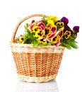 Beautiful violet pansies in basket Royalty Free Stock Photos
