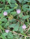 Beautiful violet-purple flowers mimosa pudica sensitive plant