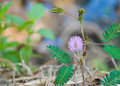 Beautiful violet/purple flowers mimosa pudica sensitive plant, Touch-Me-Not plant in morning mist. sleepy plant or shy plant. macr Royalty Free Stock Photo