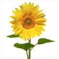 Beautiful vivid sunflower Royalty Free Stock Photos