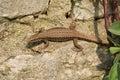 A beautiful Wall Lizard Podarcis muralis sunning itself on a stone wall. Royalty Free Stock Photo