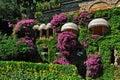 Beautiful wall overgrown bougainvillea with sun visors Royalty Free Stock Photo