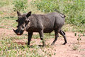 Beautiful warthog africa Royalty Free Stock Photo