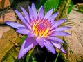 The beautiful water lilies look like they`re on the shore Royalty Free Stock Photo