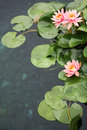 Beautiful waterlilies Stock Images