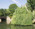 Beautiful weeping willow tree Royalty Free Stock Photo