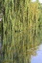 Beautiful weeping willow tree reflecting in the water Stock Photo
