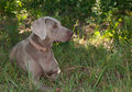 Beautiful Weimaraner dog resting in the shade Stock Photo