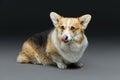 Beautiful welsh corgi dog Royalty Free Stock Photo
